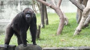 Monyet_Gembiraloka